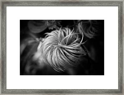 Clematis Seed Head In Black And White Framed Print