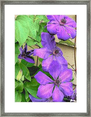 Clematis Trail Framed Print by Vijay Sharon Govender