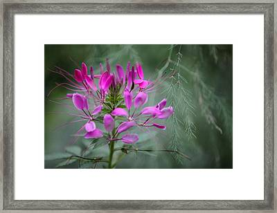 Framed Print featuring the photograph Cleome by Jane Melgaard