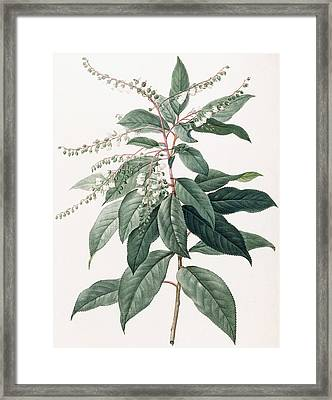 Clethra Arborea Framed Print by Pierre Joseph Redoute