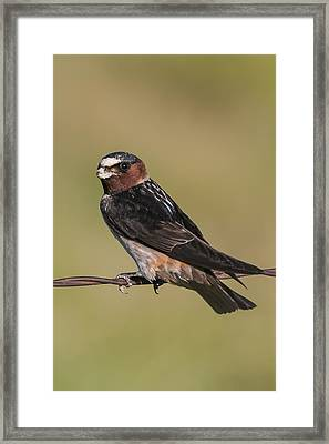 Cliff Swallow Framed Print