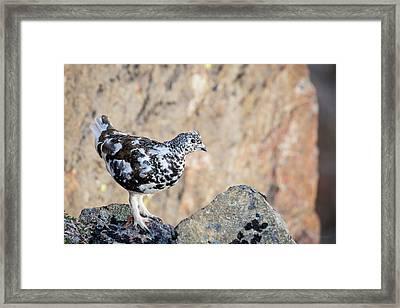 Cliffside Ptarmigan Framed Print