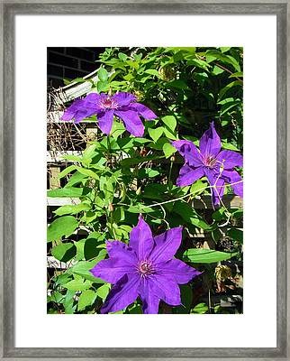 Framed Print featuring the photograph Climbing Clematis by Susan Carella