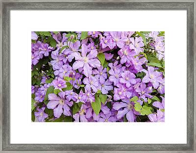 Climbing Lavender - Pink Clematis  Framed Print