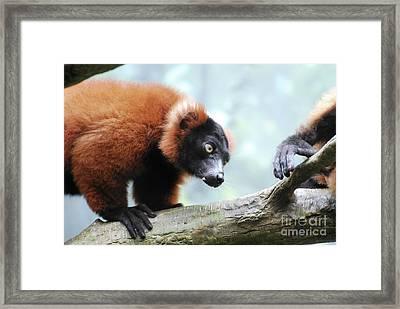 Climbing Red Ruffed Lemur On A Fallen Log Framed Print by DejaVu Designs