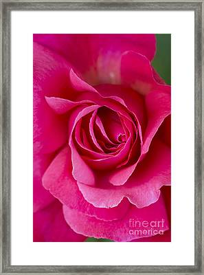 Climbing Rose Galway Bay Framed Print by Tim Gainey