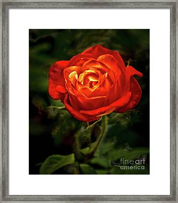 Climbing Rose Framed Print