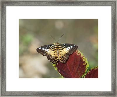 Framed Print featuring the photograph Clipper Butterfly by Paul Gulliver
