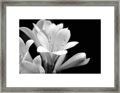 Clivia Flowers Black And White Framed Print