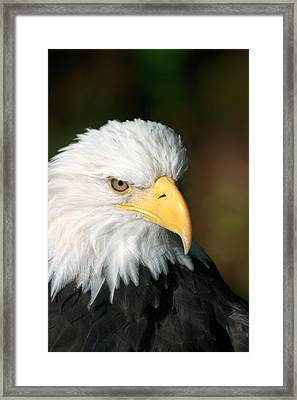 Close Portrait Of A Bald Eagle Framed Print by Ralph Lee Hopkins