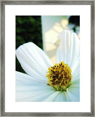 Close To A Daisy Framed Print by Nancy Ippolito