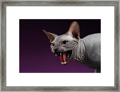 Close-up Aggressive Sphynx Cat Hisses On Purple Framed Print by Sergey Taran