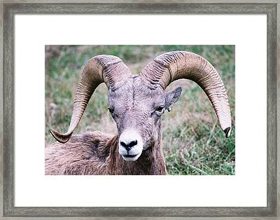 Close Up Big Horn Sheep Framed Print