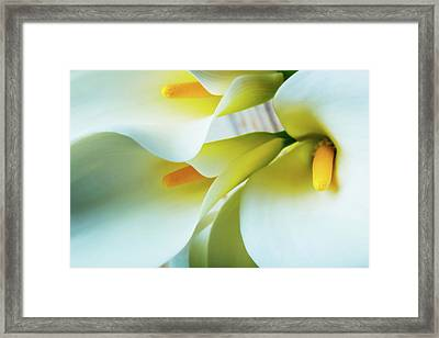 Close Up Calla Lilies Framed Print