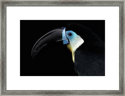 Close-up Channel-billed Toucan, Ramphastos Vitellinus, Isolated On Black Framed Print by Sergey Taran