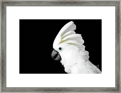 Close-up Crested Cockatoo Alba, Umbrella, Indonesia, Isolated On Black Background Framed Print