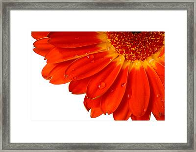 Close Up Detail Red Gerbera Daisy Framed Print