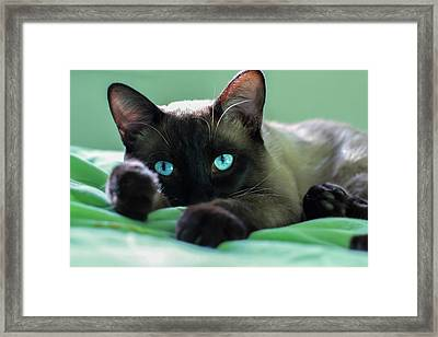 Siamese Cat. Close Up Face Of Siamese Adult Cat. Siamese Cat With Beautiful Blue Eyes. Framed Print
