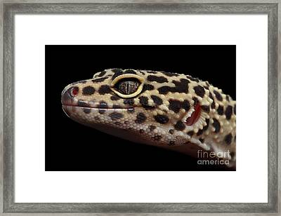 Close-up Leopard Gecko Eublepharis Macularius Isolated On Black Background Framed Print