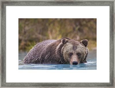 Close Up Of A Coastal Brown Bear  Ursus Framed Print by Rob Daugherty