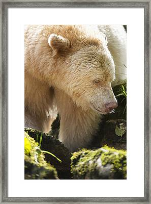 Close Up Of A Kermode Bear  Ursus Framed Print by Daisy Gilardini