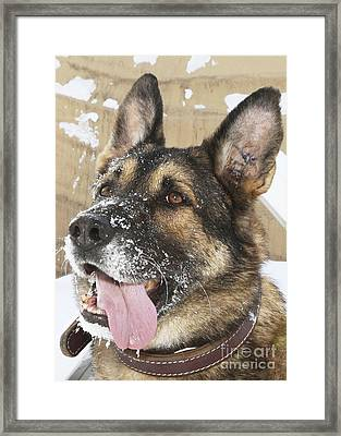 Close-up Of A Military Working Dog Framed Print by Stocktrek Images