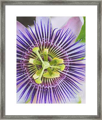 Close Up Of A Passion Flower Framed Print by Ramneek Narang