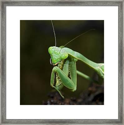 Close Up Of A Praying Mantis Framed Print by Jack Goldfarb