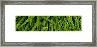 Close-up Of A Raindrops On Grass Framed Print