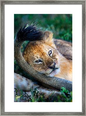 Close-up Of African Lion Panthera Leo Framed Print