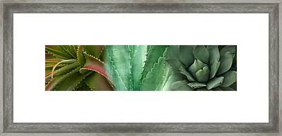 Close-up Of Aloe Vera Plants Framed Print by Panoramic Images