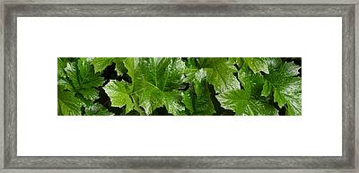 Close-up Of Bears Breeches Green Leaves Framed Print by Panoramic Images