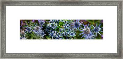 Close-up Of Blue Thistle Flowers Framed Print