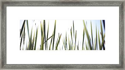 Close-up Of Cattail Grass Typha Framed Print by Panoramic Images