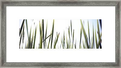 Close-up Of Cattail Grass Typha Framed Print
