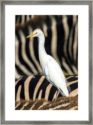 Close-up Of Cattle Egret Bubulcus Ibis Framed Print