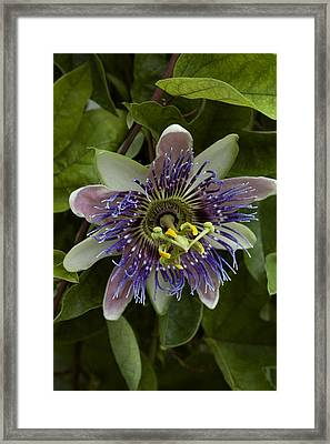 Close-up Of Exotic Purple Flower Framed Print by Todd Gipstein