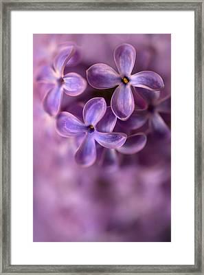 Close Up Of Fresh Lilac Framed Print by Jaroslaw Blaminsky
