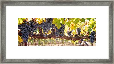 Close-up Of Grapes In A Vineyard, Napa Framed Print by Panoramic Images