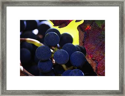 Close Up Of Grapes On A Vine Framed Print