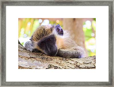 Close Up Of Green Monkey - Barbados Framed Print by Matteo Colombo