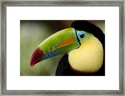 Close-up Of Keel-billed Toucan Framed Print