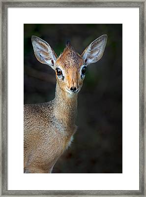 Close-up Of Kirks Dik-dik Madoqua Framed Print by Panoramic Images