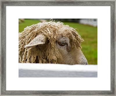 Close-up Of Leicester Longwool Framed Print