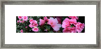 Close-up Of Pink Camellia Flowers Framed Print
