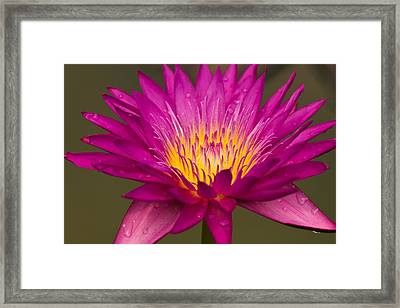 Close Up Of Pink Water Lily Framed Print
