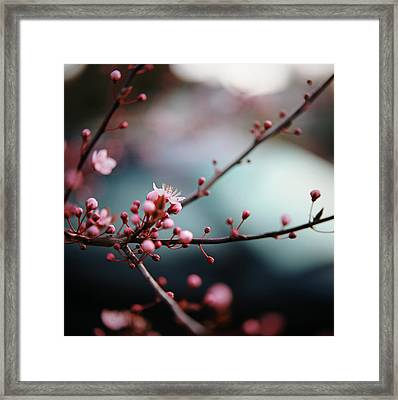 Close-up Of Plum Blossoms Framed Print by Danielle D. Hughson