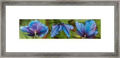 Close-up Of Raindrops On Blue Flowers Framed Print by Panoramic Images
