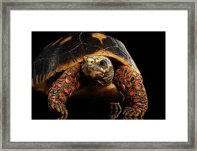 Close-up Of Red-footed Tortoises, Chelonoidis Carbonaria, Isolated Black Background Framed Print