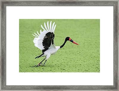 Close-up Of Saddle-billed Stork Framed Print